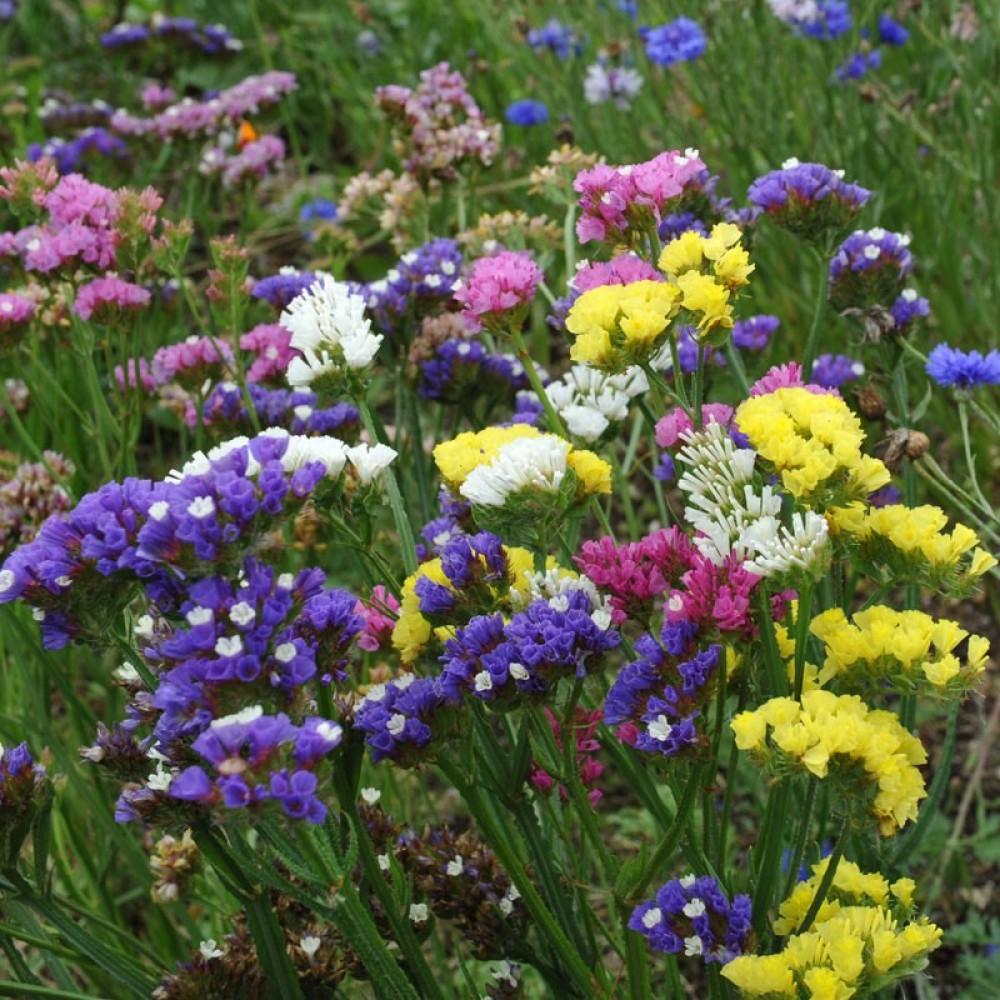 زهور ستاتس-limonium statice