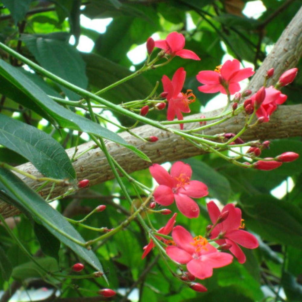 اوراق وزهور الجاتروفا