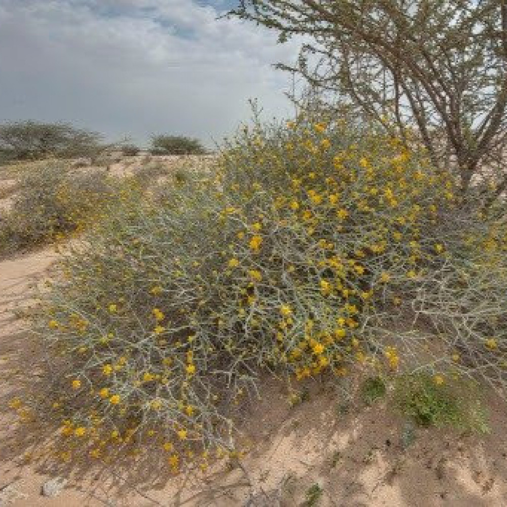 نبات العرفج