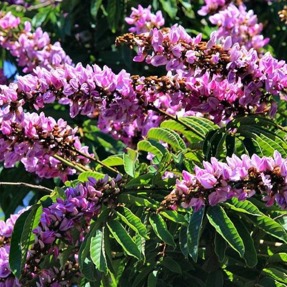 زهور شجرة البونجاميا