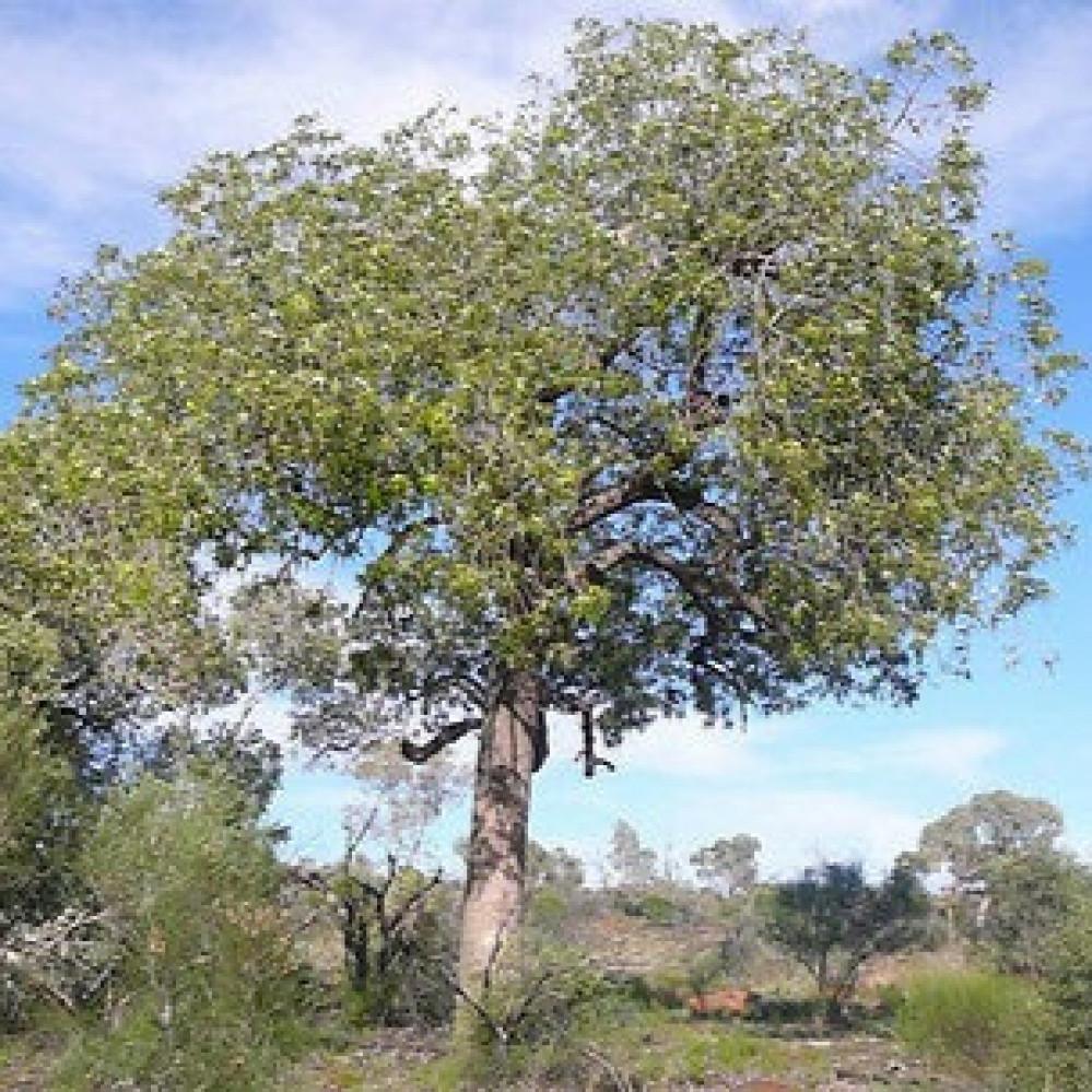 شجرة استركوليا رجل البطة