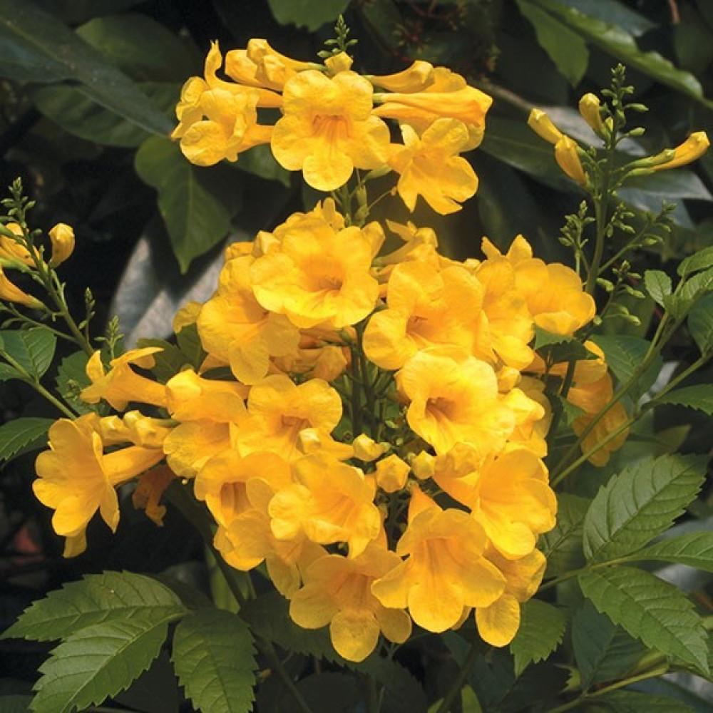 زهور تيكوما ستانس