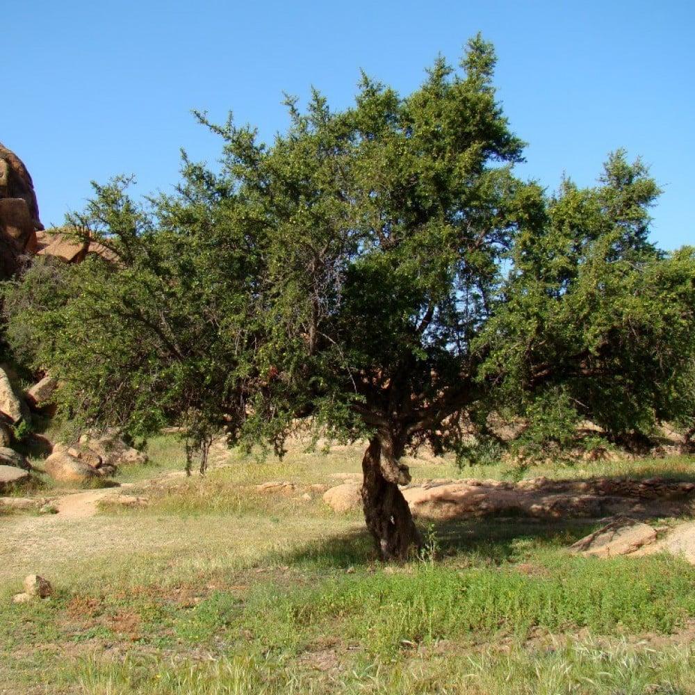 بذور شجرة ارغان-متجر بذور الزراعي