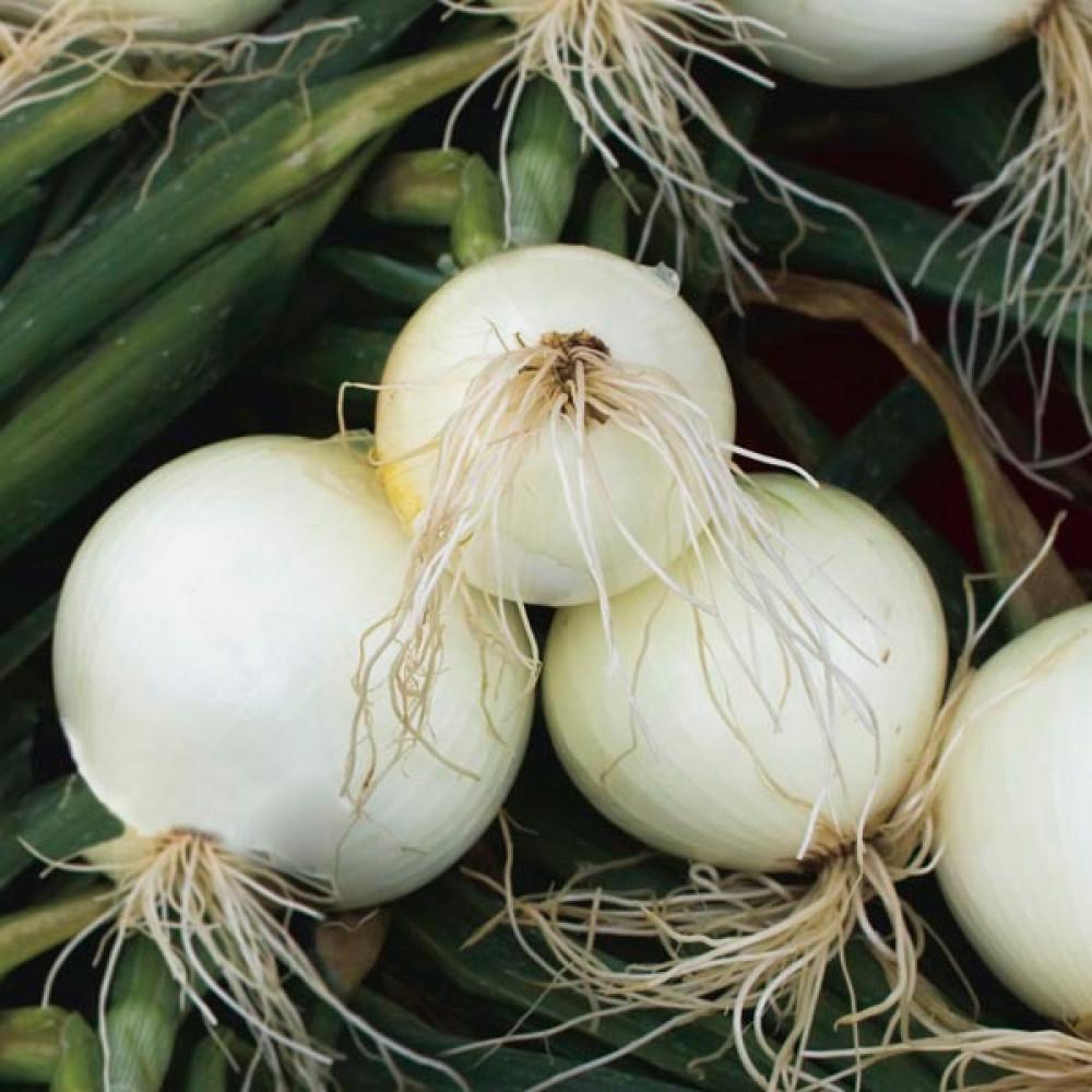 البصل الابيض-متجر بذور الزراعي