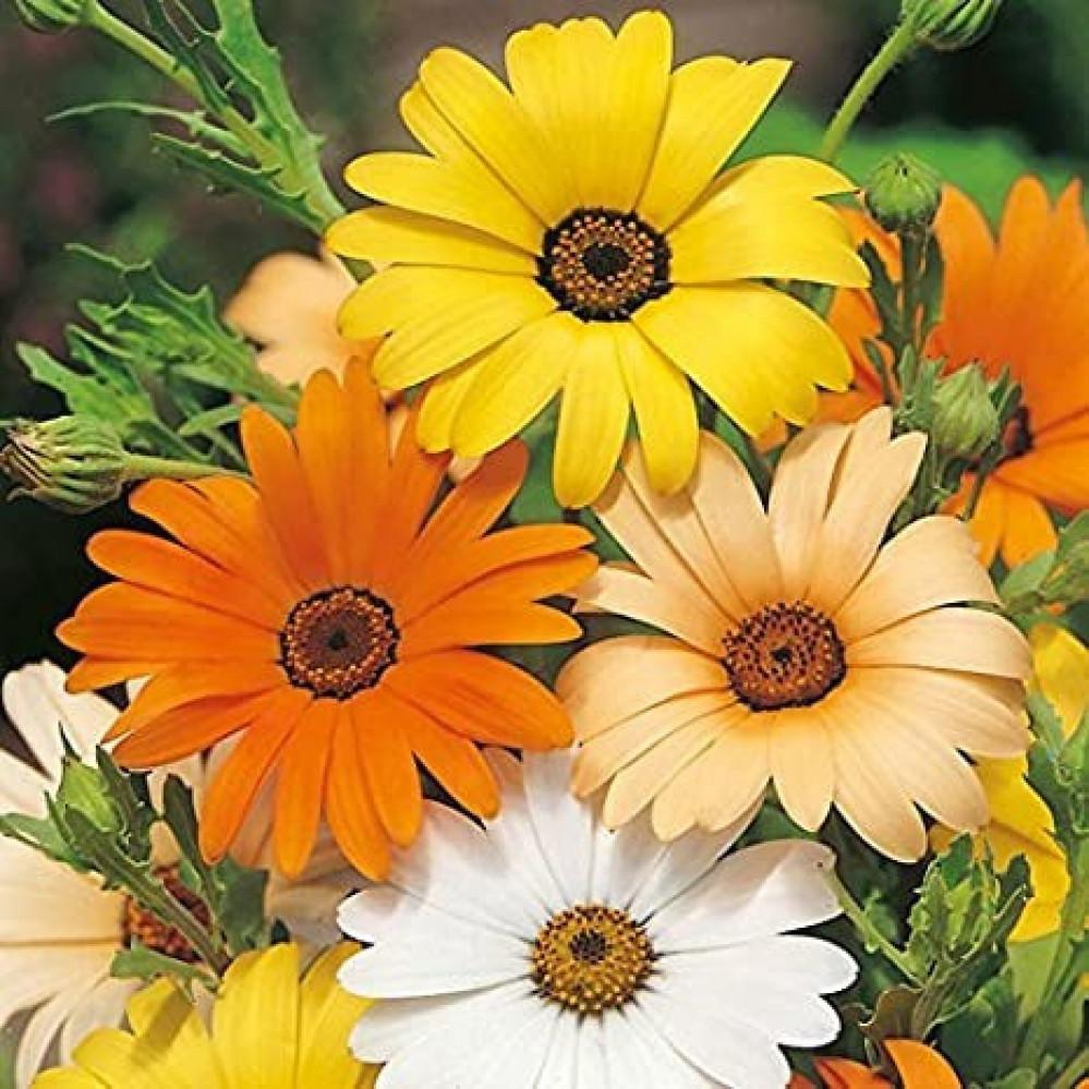 زهرة ديمورفتيكا-متحر بذور الزراعي