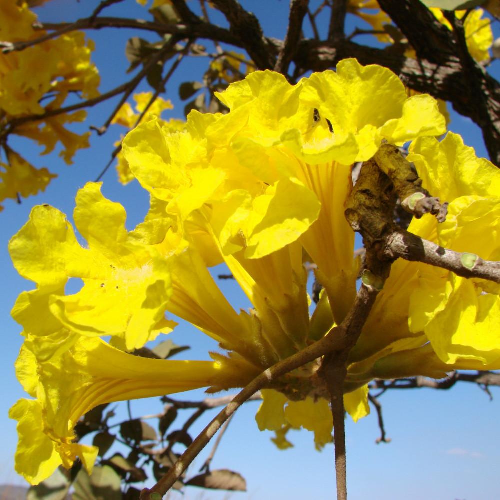زهرة التابوبيا الذهبية