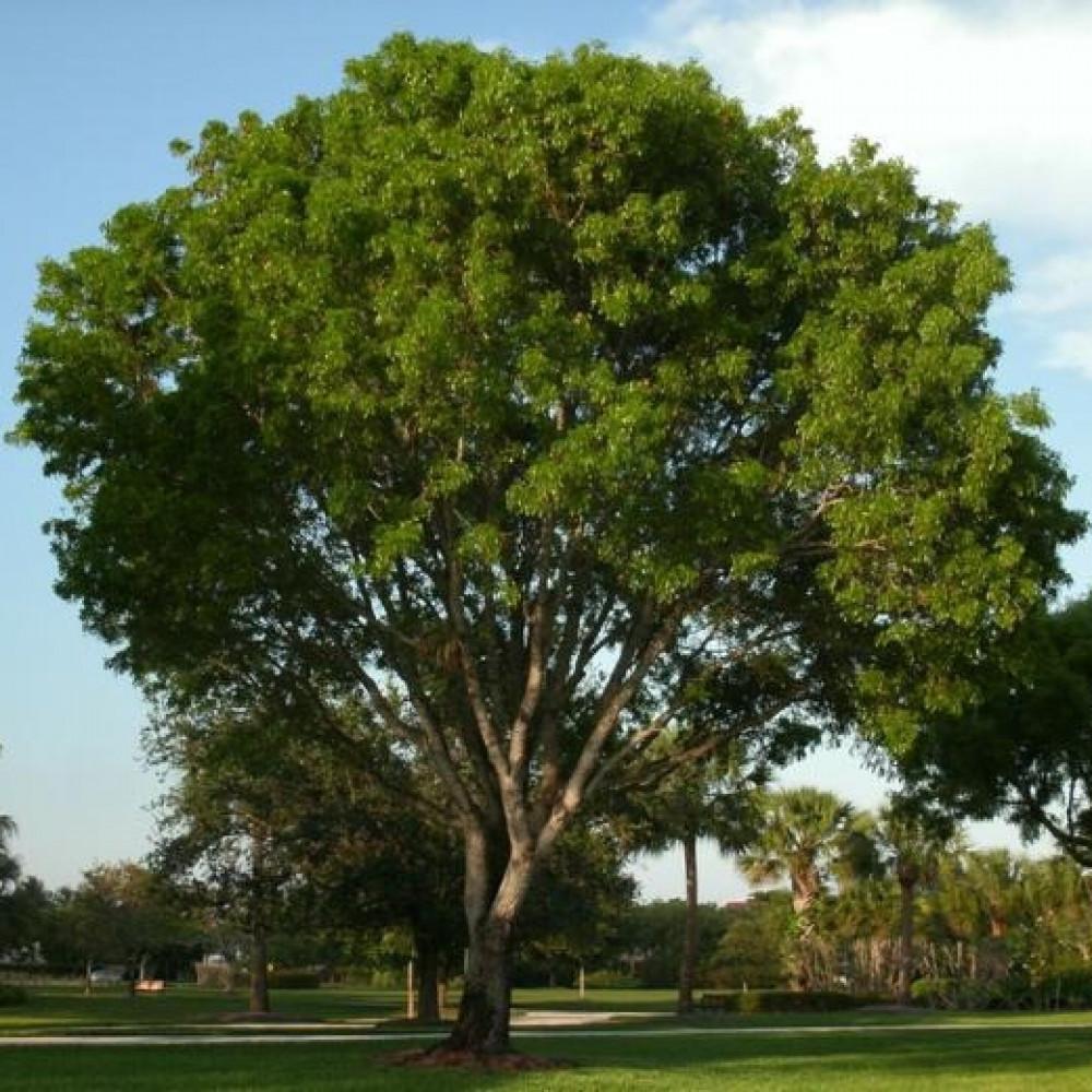 شجرة السرسوع