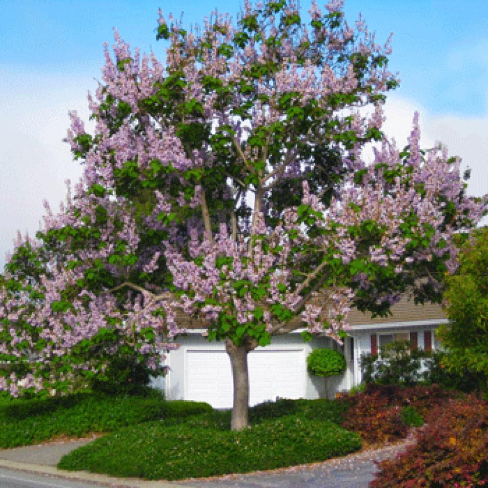 شجرة الباولونيا