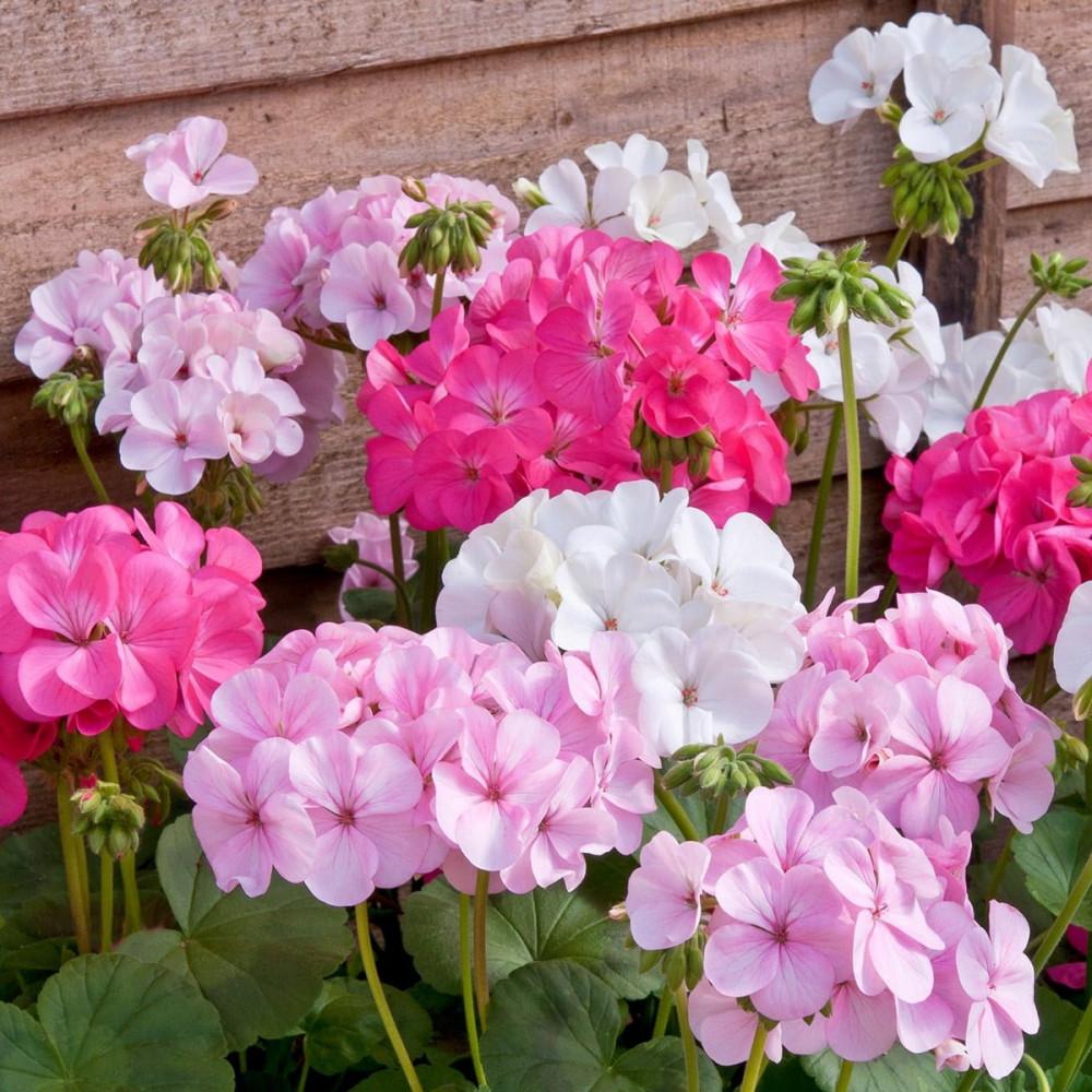 بذور زهور الجيرانيوم-متجر بذور الزراعي