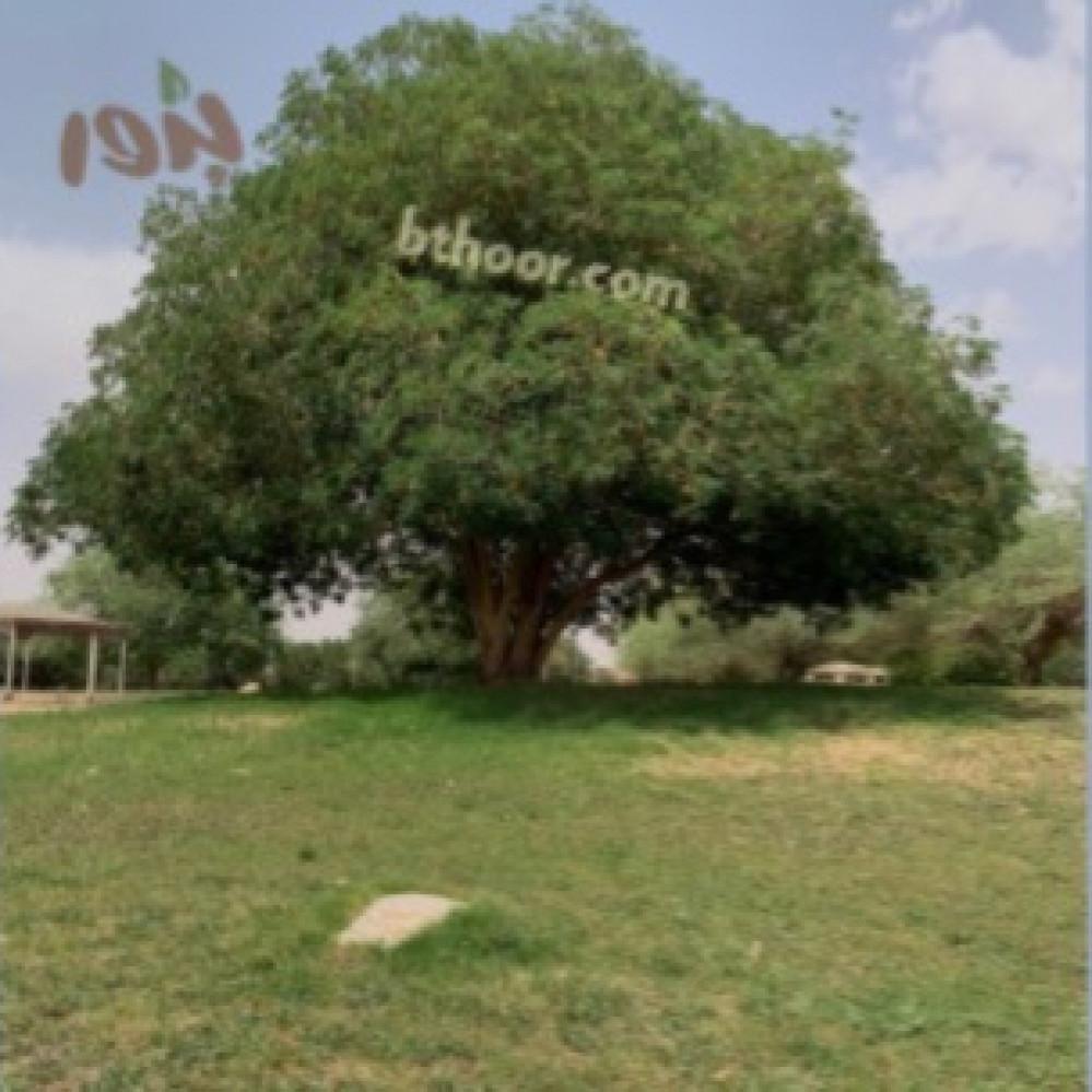 شجرة اللبخ-متجر بذور الزراعي