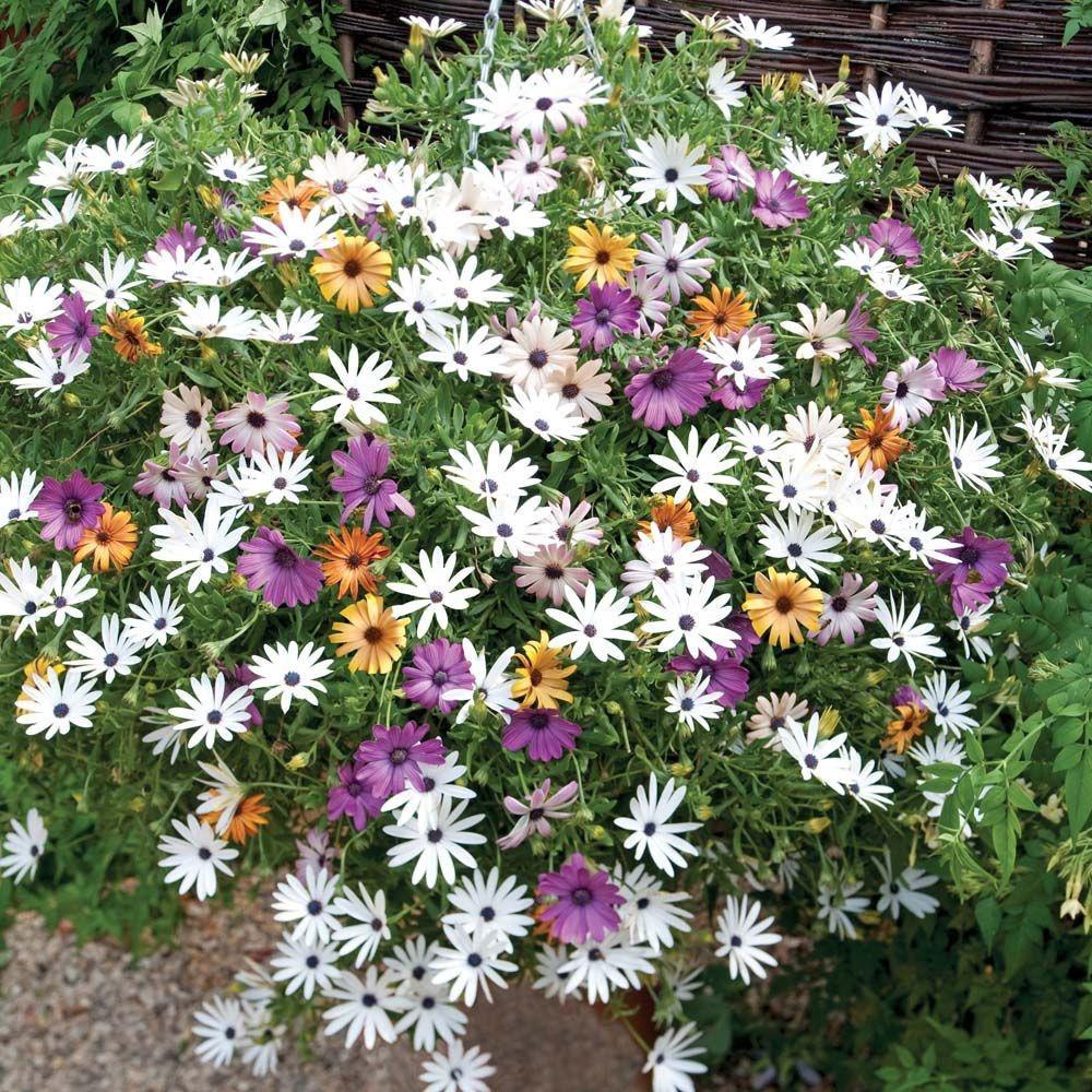 بذور زهور ديمور فتيكا- متجر بذور الزراعي