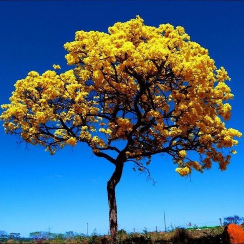 شجرة تابوبيا صفراء