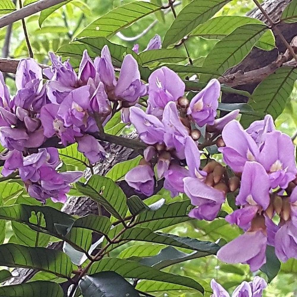 زهرة شجرة البونجاميا