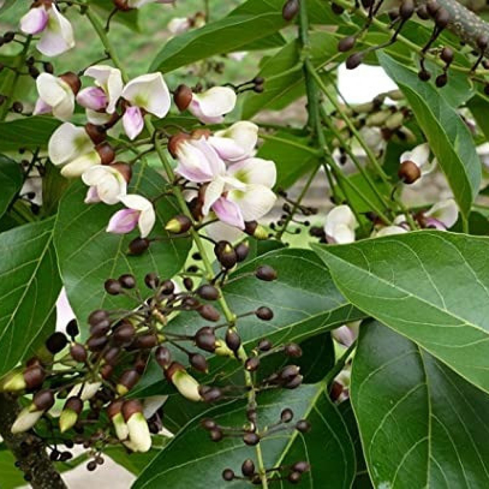 زهور شجرة بونجاميا