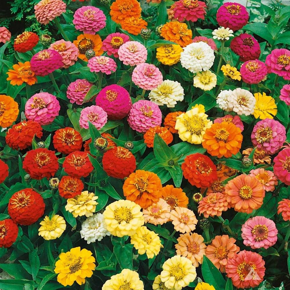 زهور زينيا متنوعة