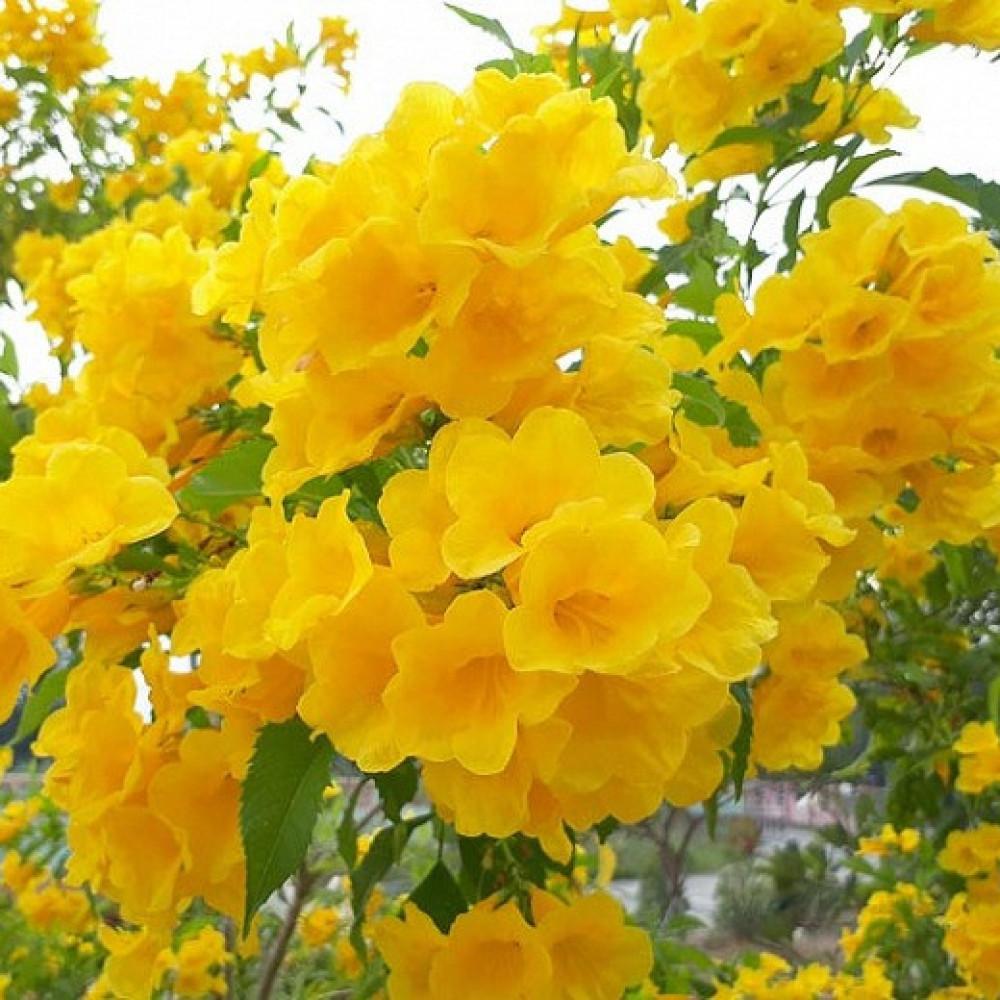 زهرة التيكوما ستانس