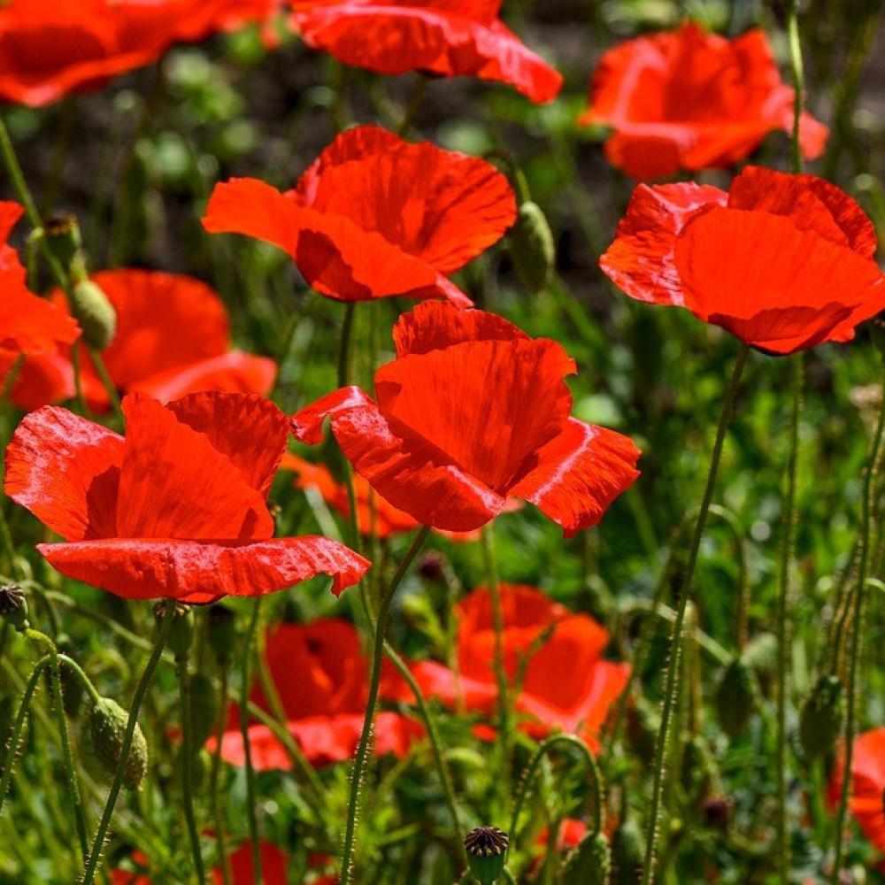 زهور الديدحان الاحمر