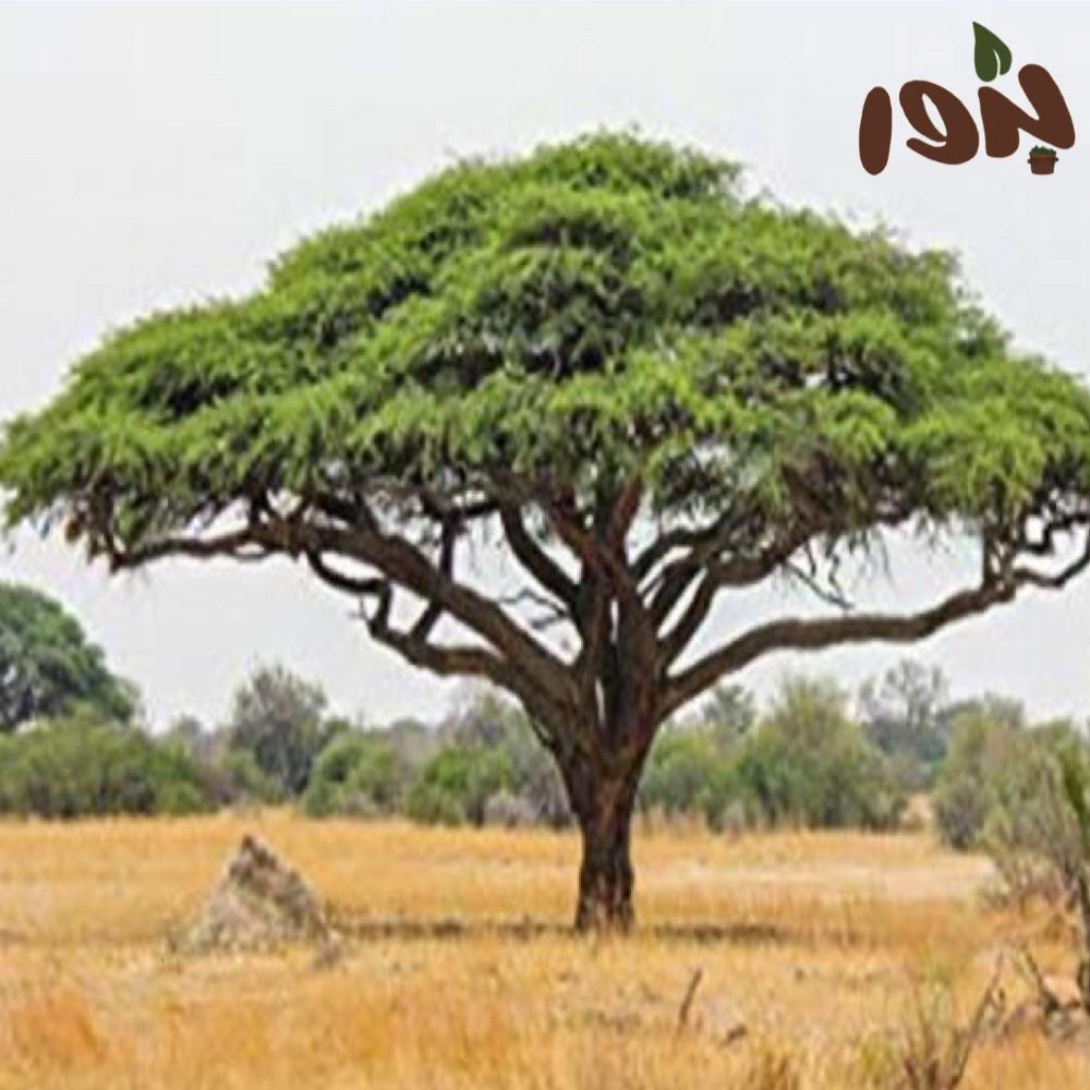 شجرة الصمغ العربي