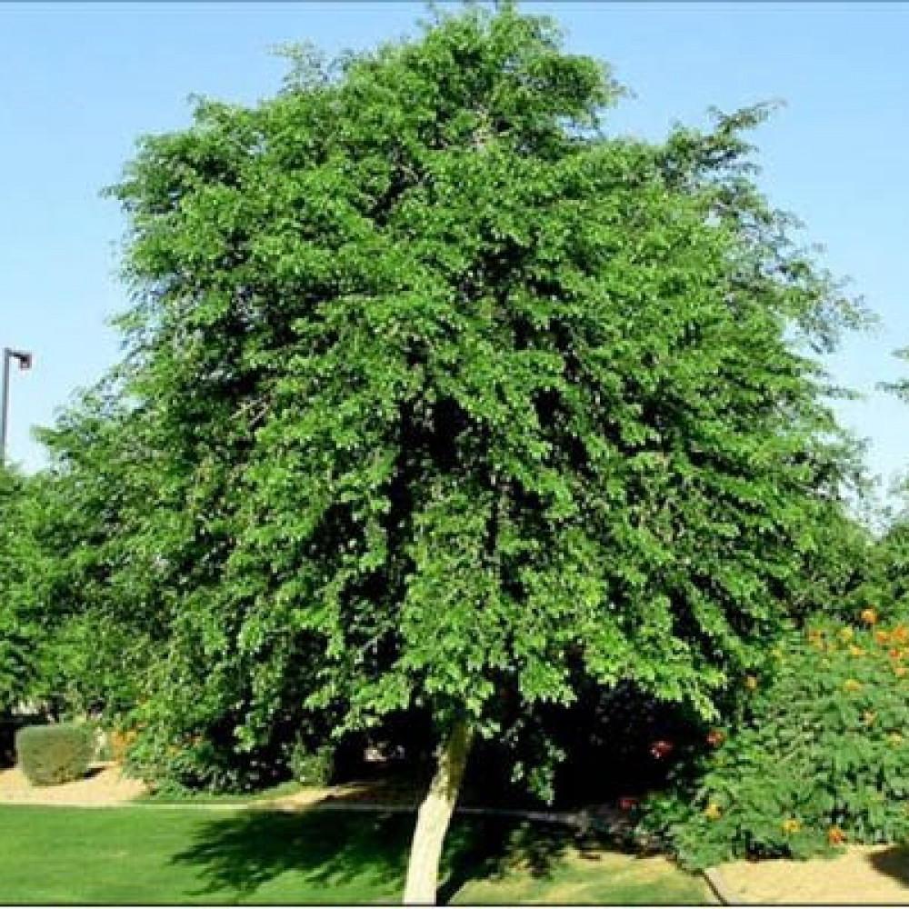 شجرة السيسم