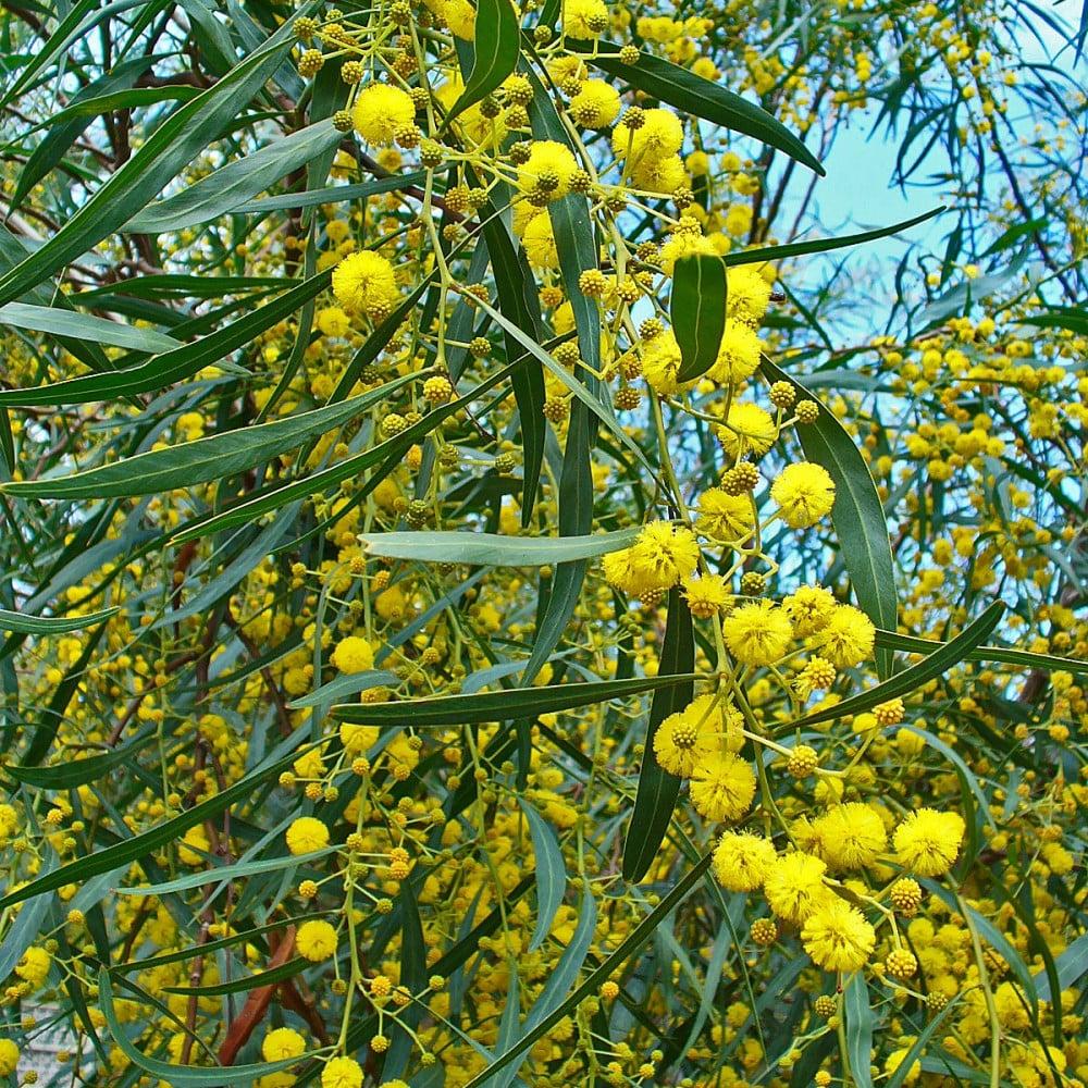 زهور شجرة ساليجنا اكاسيا
