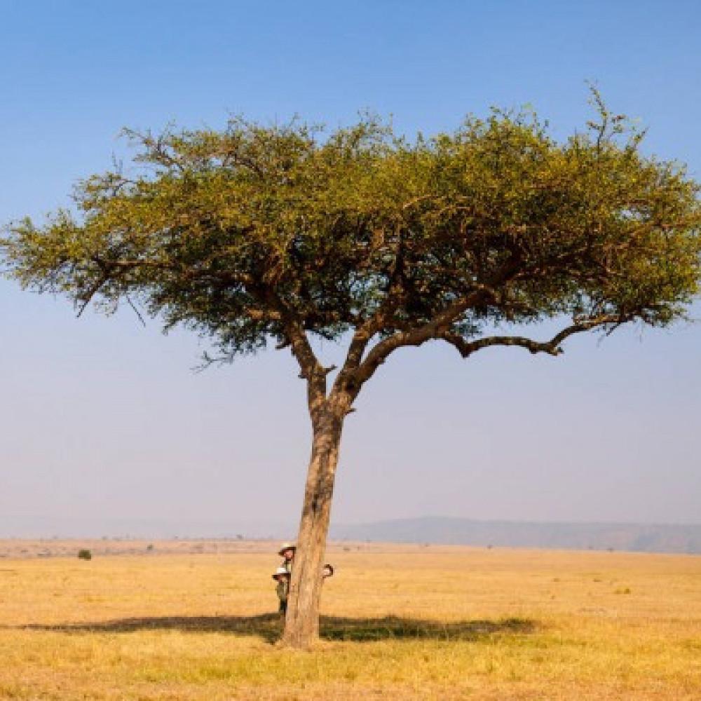 بذور شجرة طلح السيال