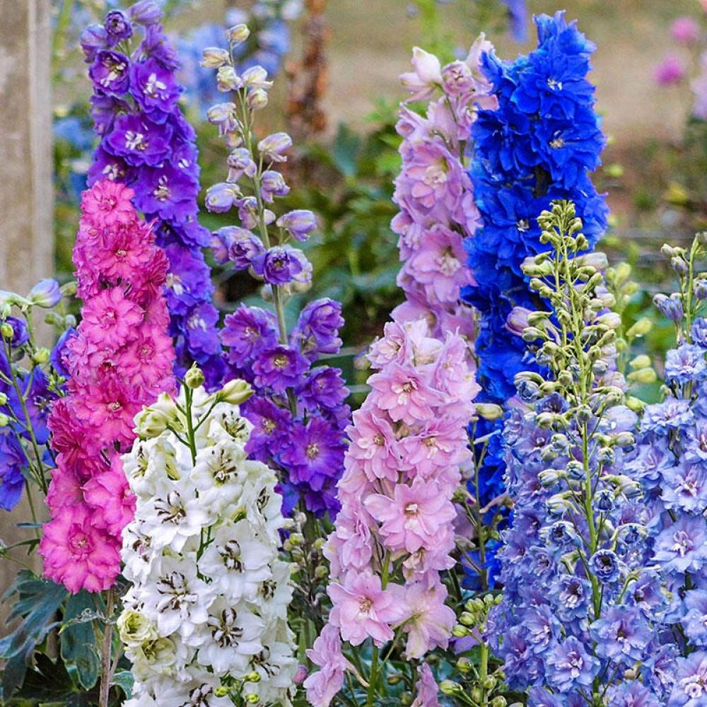 زهور دلفينيوم-متجر بذور الزراعي