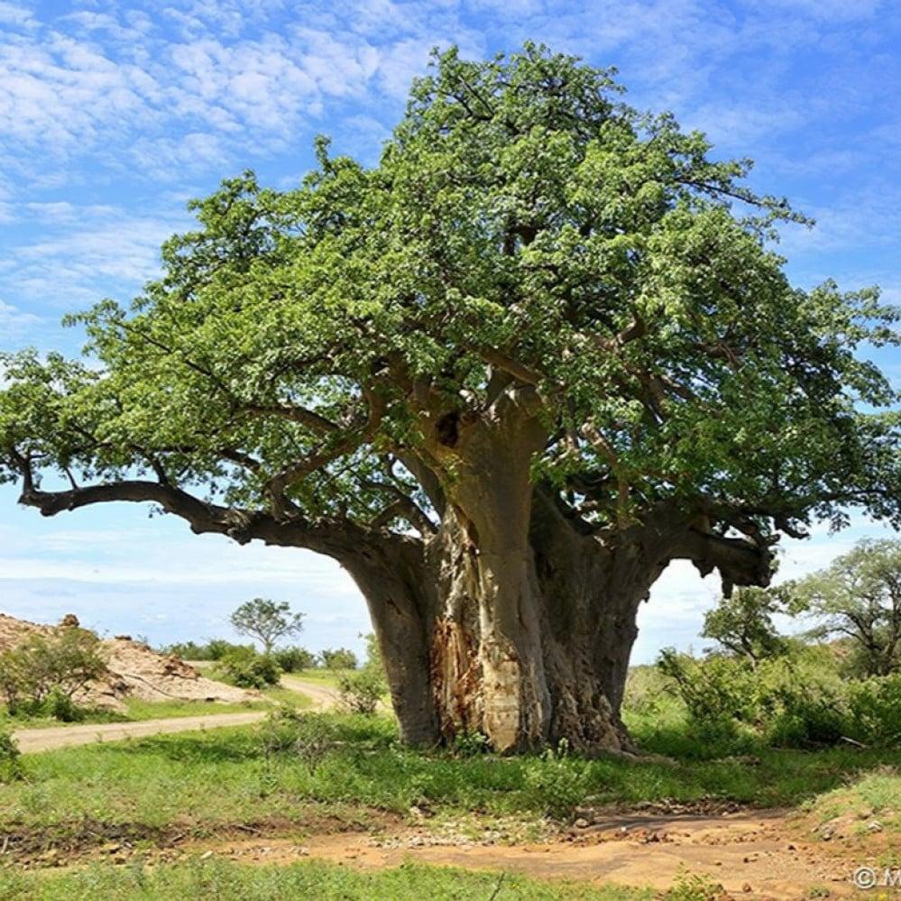 شجرة التبلدي