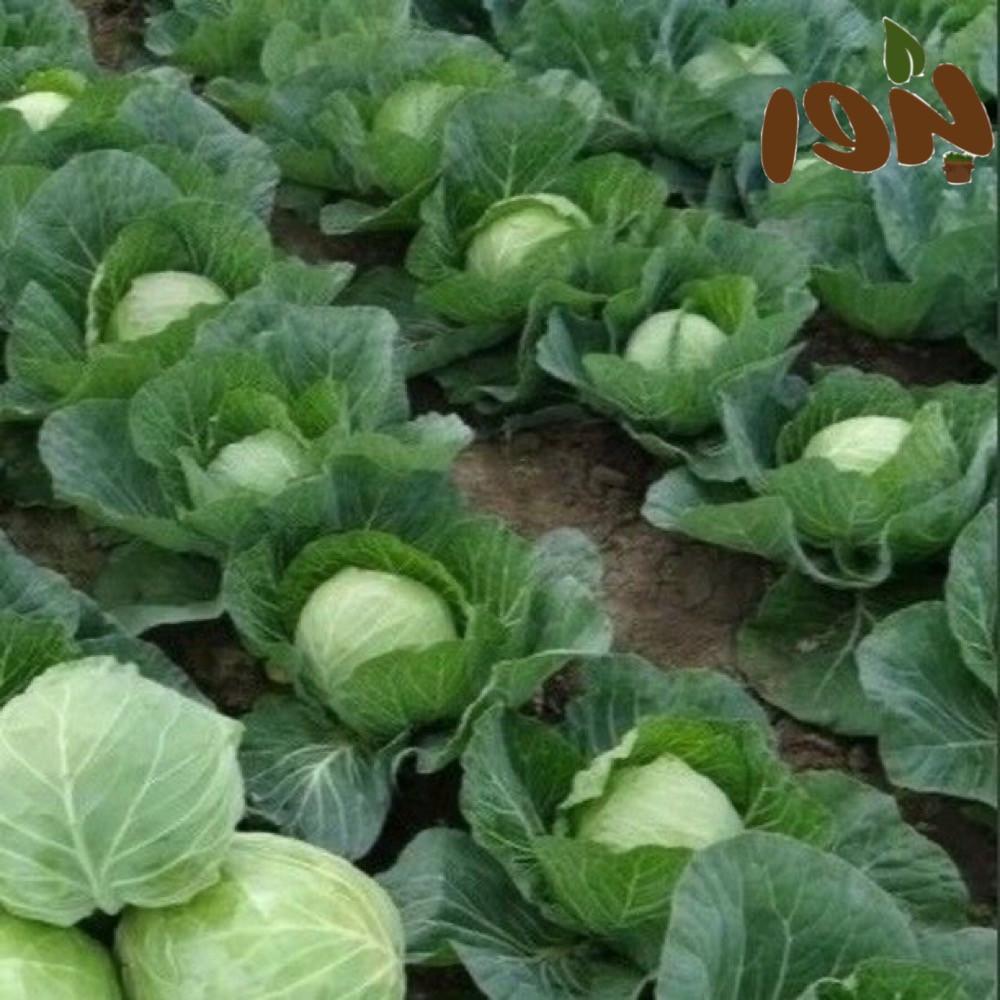 بذور الملفوف - متحر بذور الزراعي