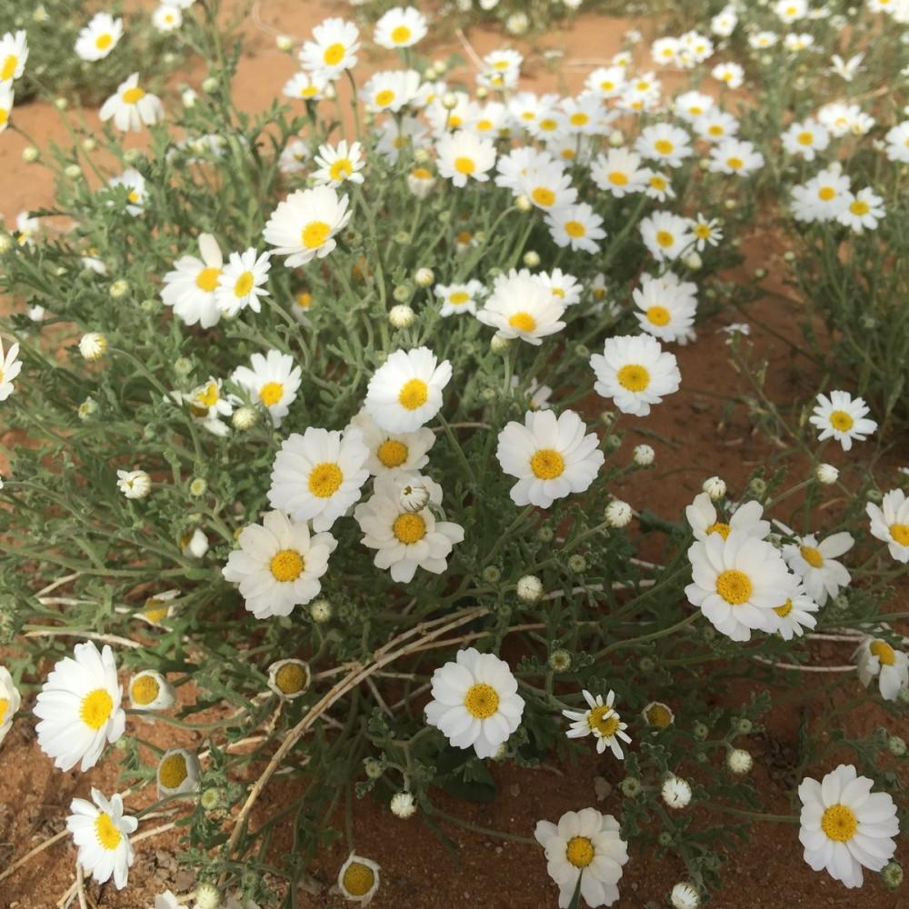 زهور القحويان