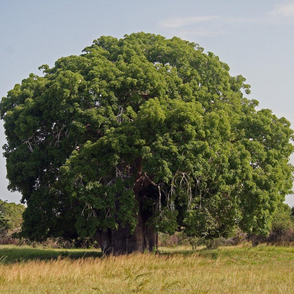 بذور شجرة العشاق
