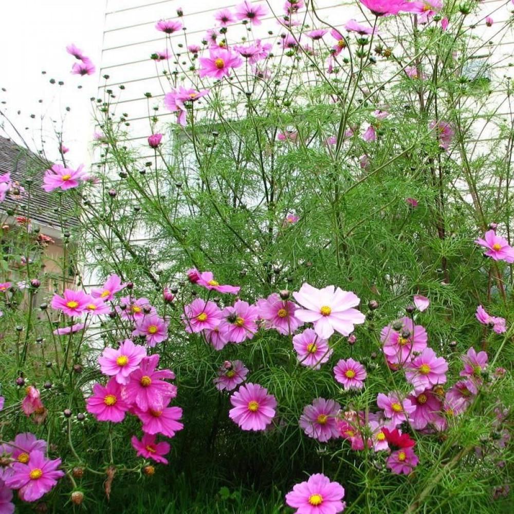 بذور زهور الكوزموس الياباني-متجر بذور الزراعي