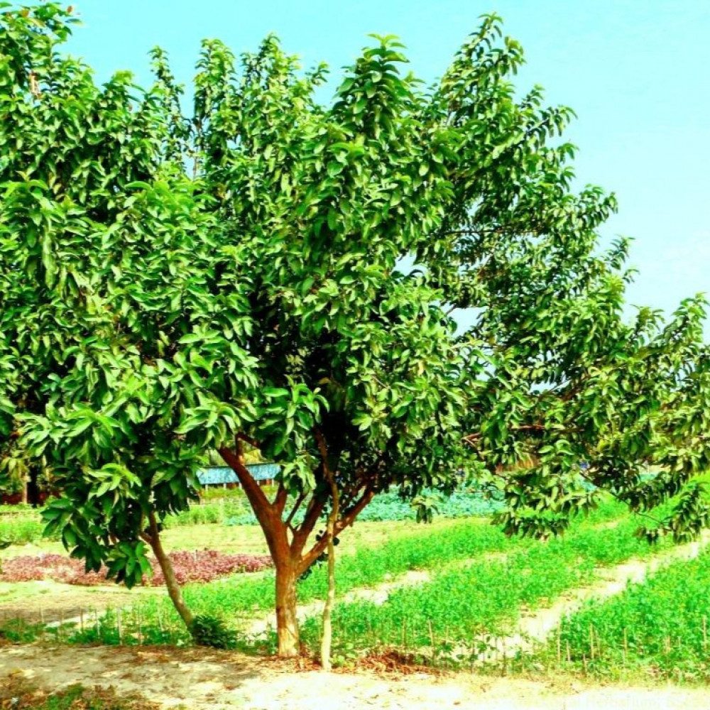 بذور جوافه صفراء-متجر بذور الزراعي