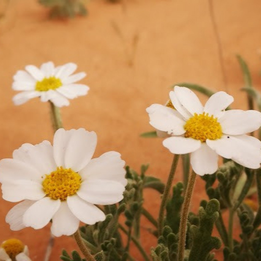 زهرة القحويان البري