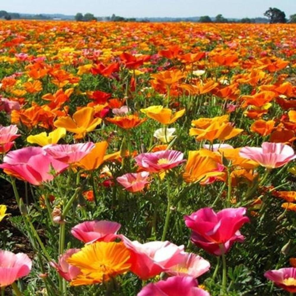 زهور الديدحان الملون