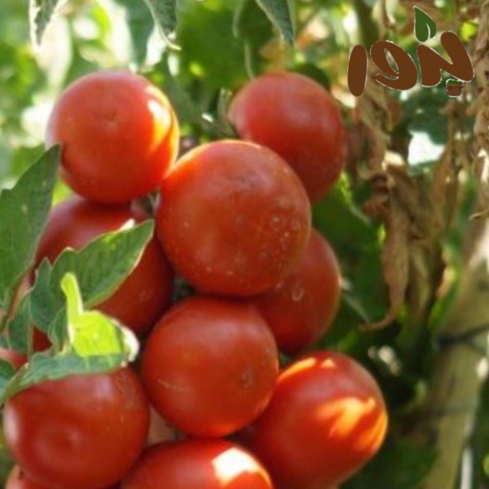 طماطم بلدي
