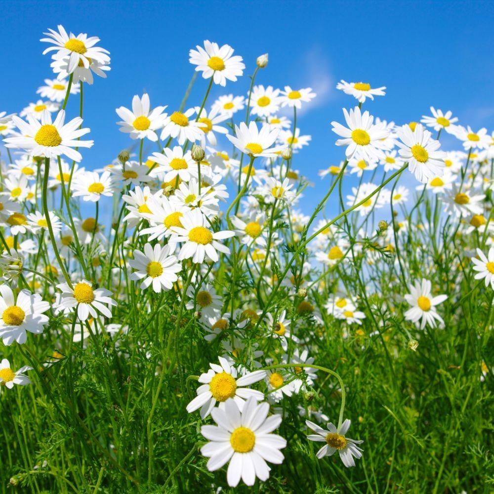 بذور زهور البابونج-متجر بذور الزراعي