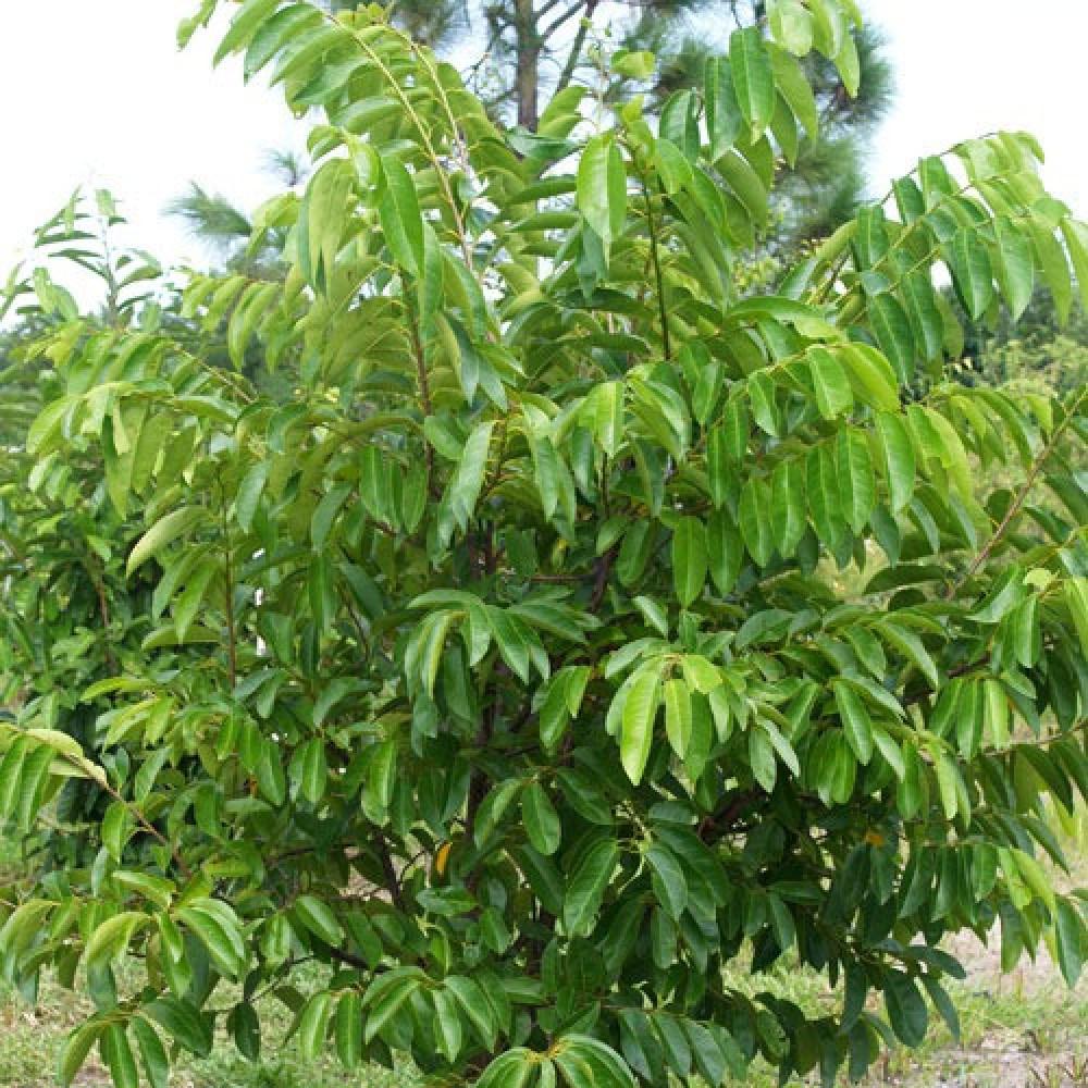 شجرة قشطة