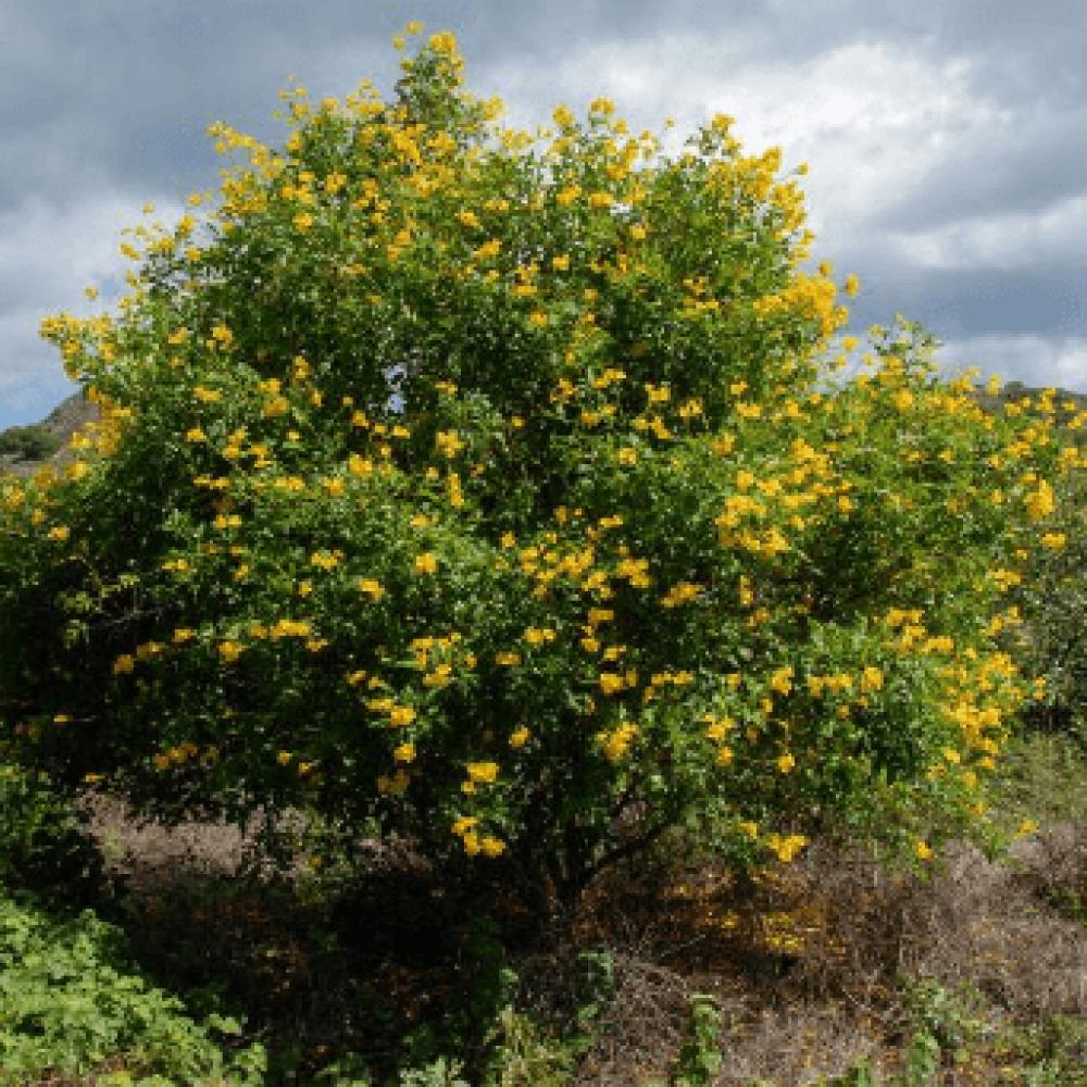 شجرة تيكوما ستانس
