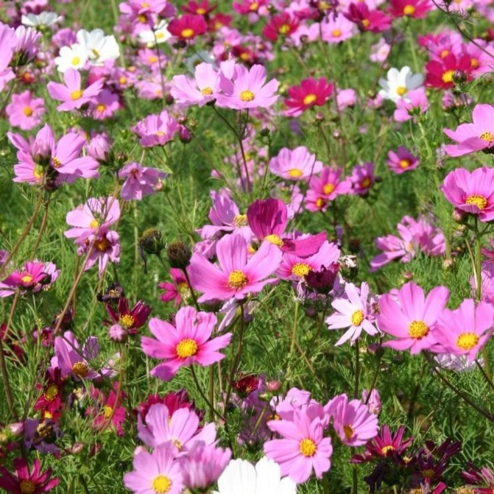 زهرة الكوزموس الياباني-متجر بذور الزراعي