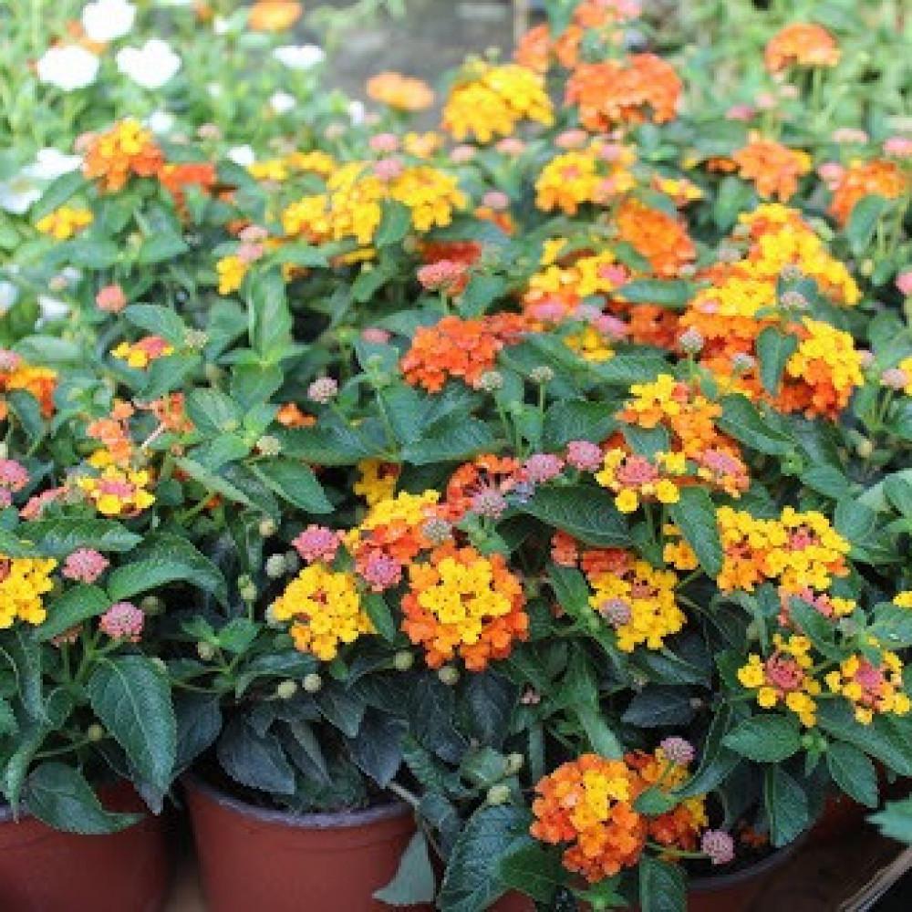 زهور لانتانا كمارا