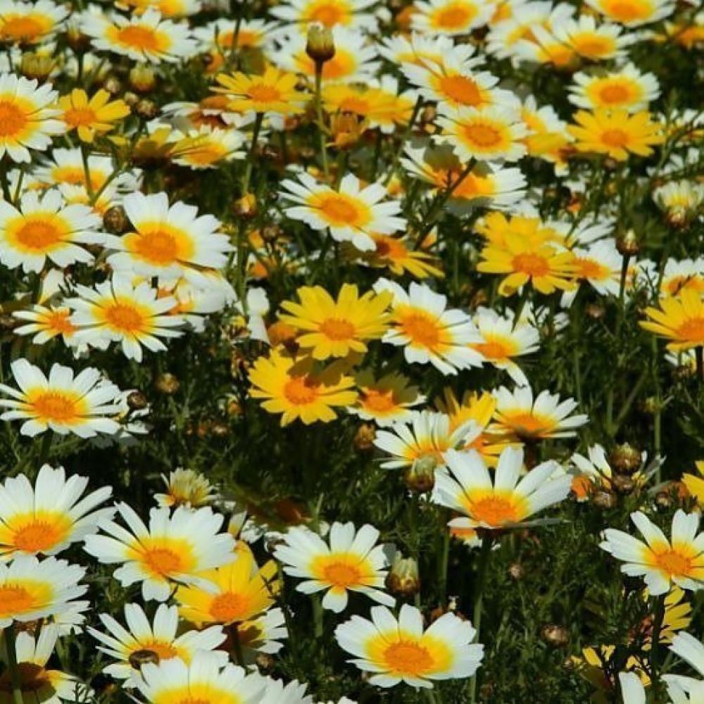 زهرة الاقحوان التاجي