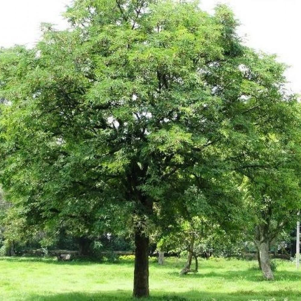 بذور شجرة تمر هندي