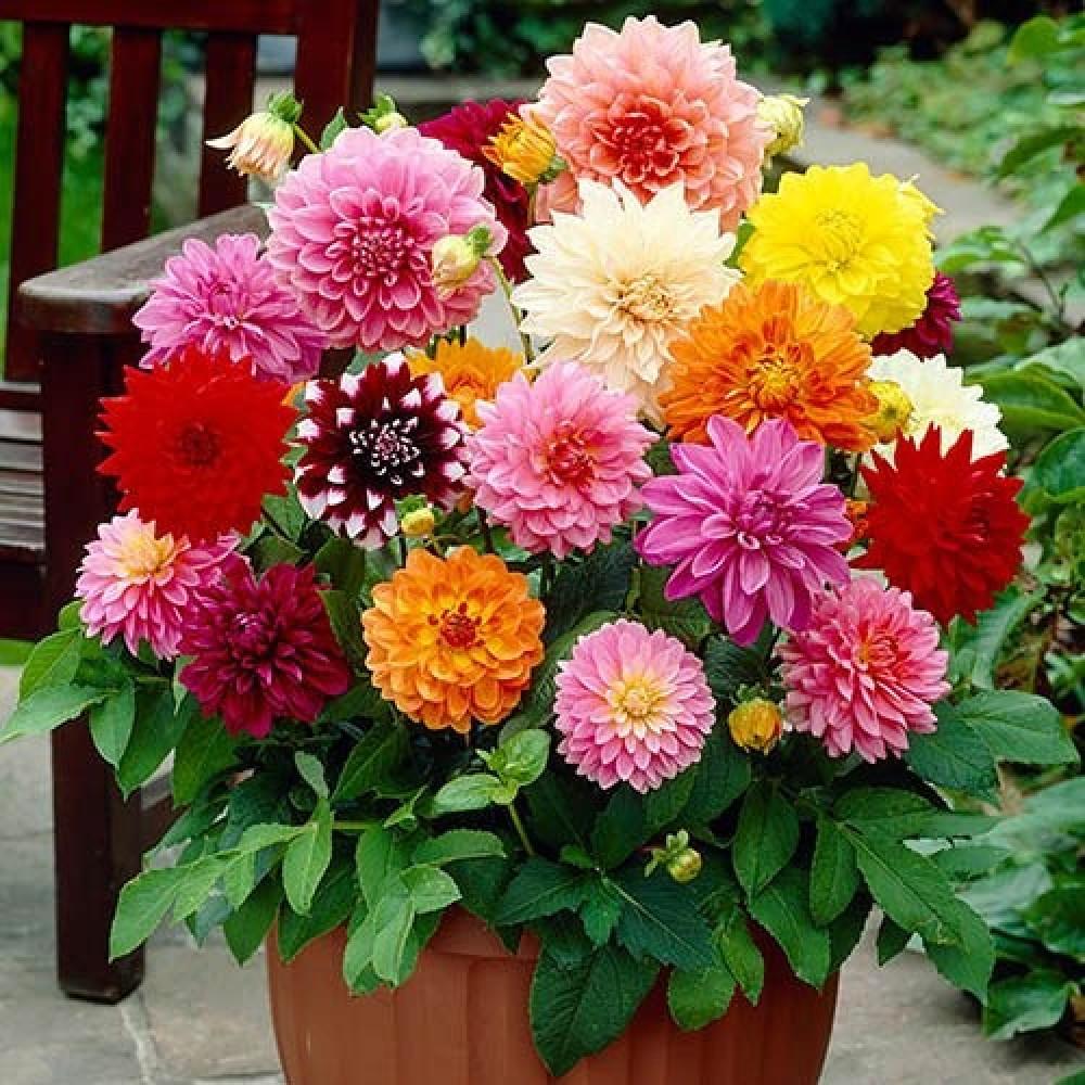 بذور زهور داليا-متجر بذور الزراعي