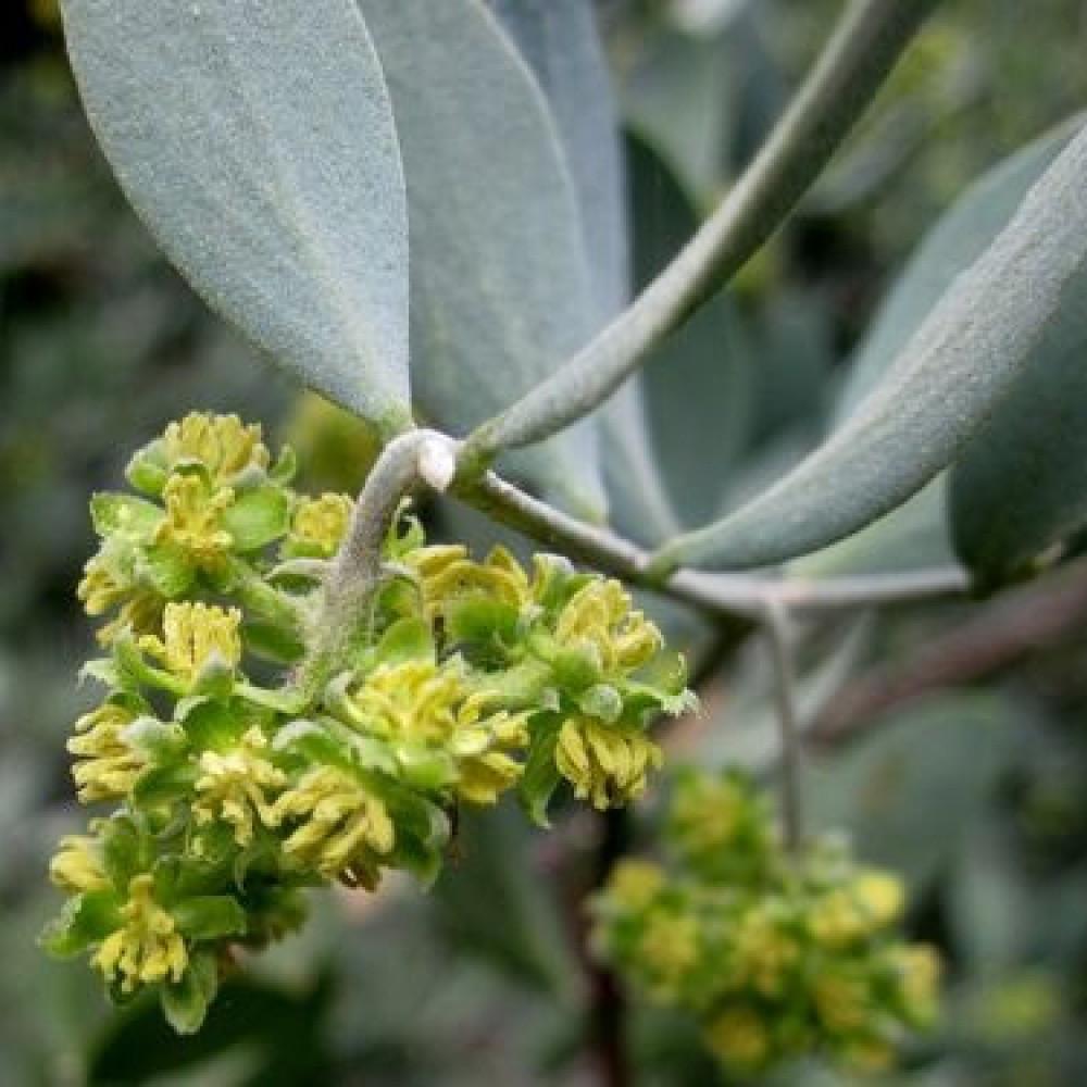 زهور الجوجوبا