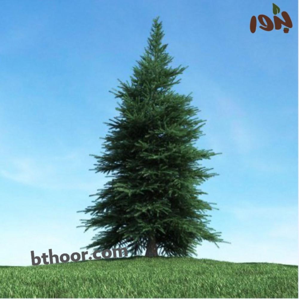 شجرة الاثل الامريكي