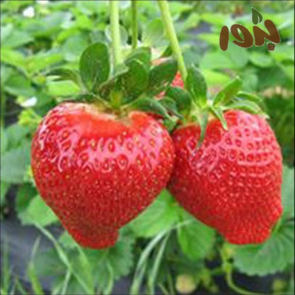 بذور الفراولة-متحر بذور الزراعي