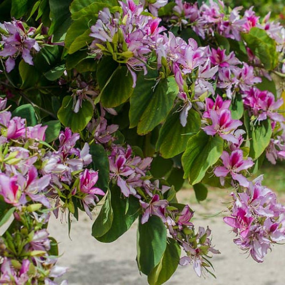 بذور شجرة البوهينيا