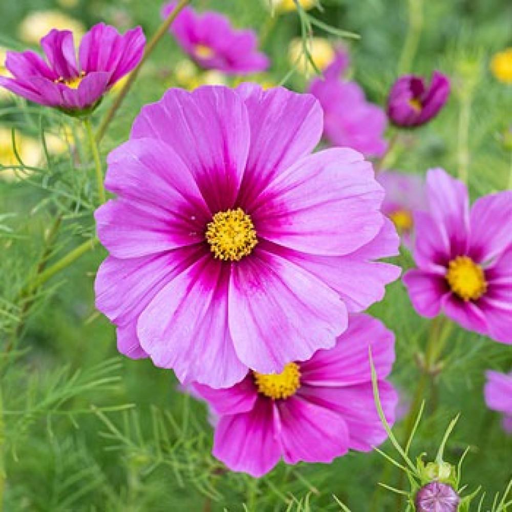 زهور الكوزموس-متجر بذور الزراعي