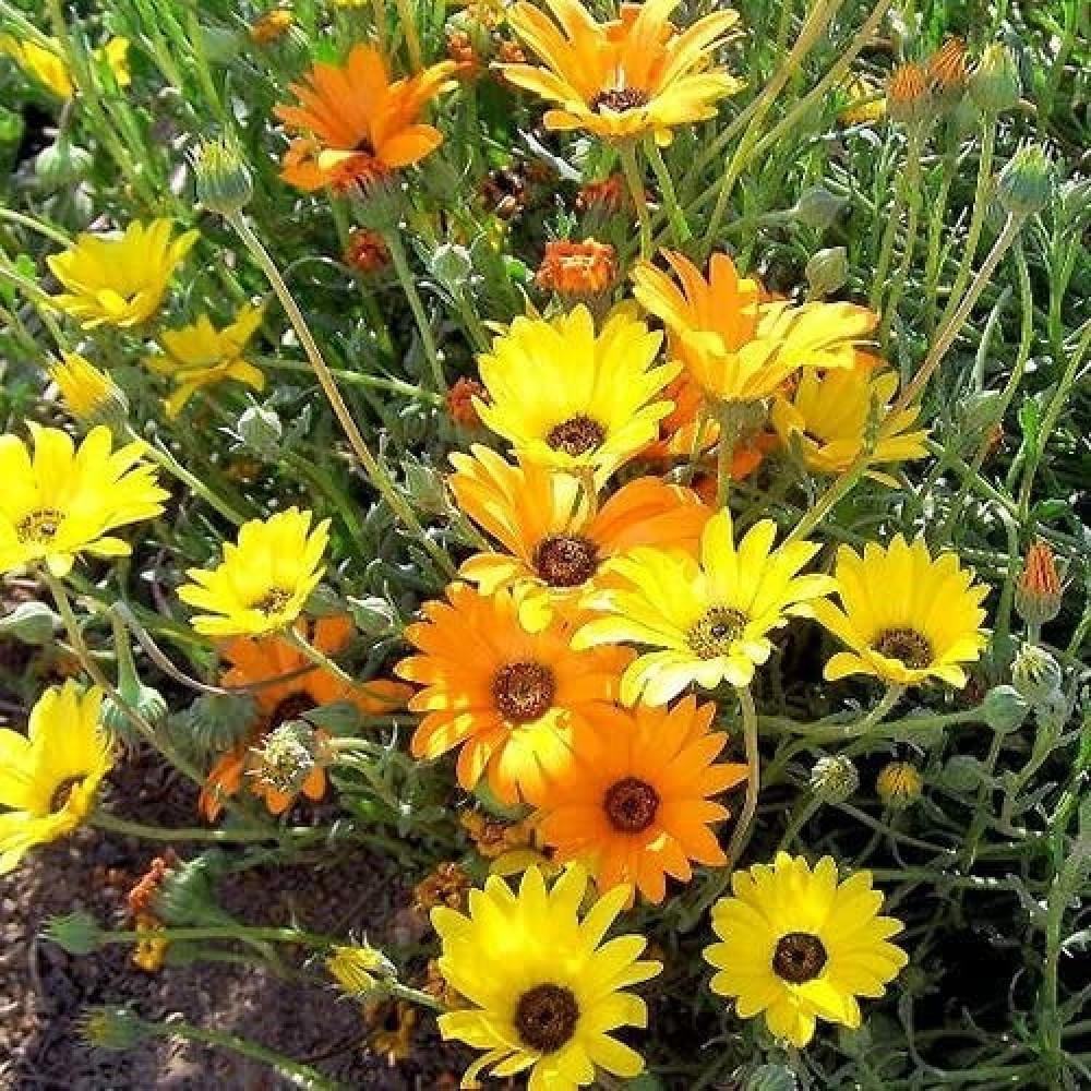 زهرة ديمورفتيكا -متجر بذور الزراعي