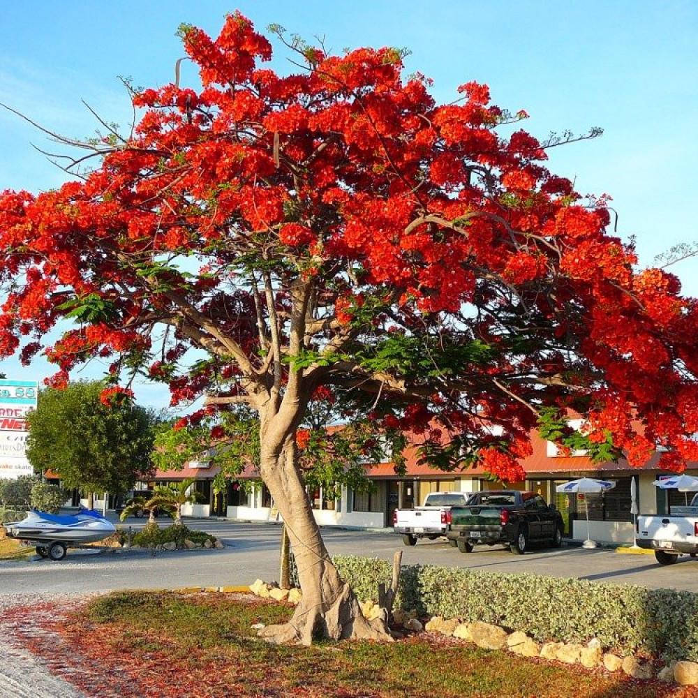 بذور الشجرة الملكية
